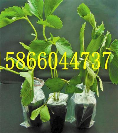 广东梅州全明星草莓苗还有吗