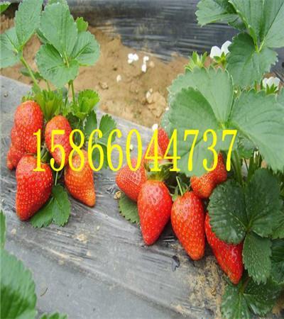 安徽安庆达赛草莓苗价格