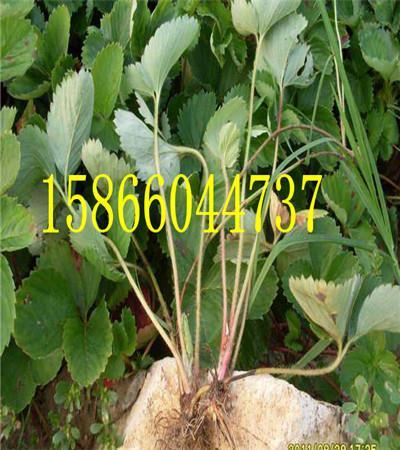 山西朔州晚熟的苹果苗栽植时间