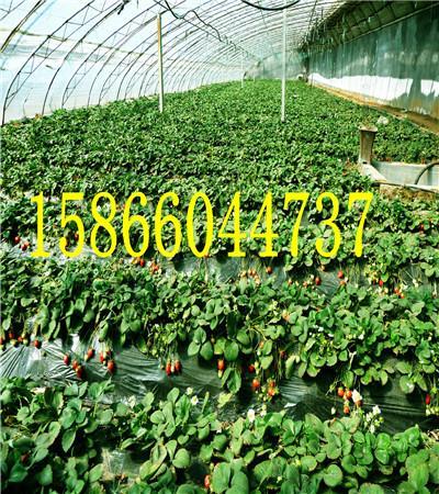 广东茂名中熟的苹果苗批发