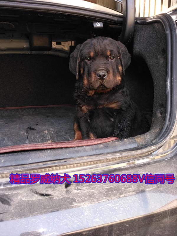 西宁哪里能买到猎犬杜高幼犬多少钱