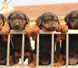 商洛哪里能买到宠物狗金毛犬