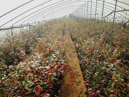 酷派蓝莓苗、酷派蓝莓苗基地