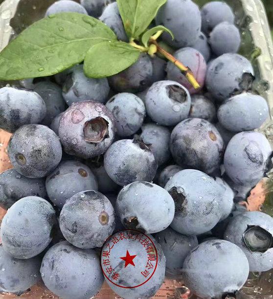奥扎克蓝蓝莓苗、奥扎克蓝蓝莓苗价格