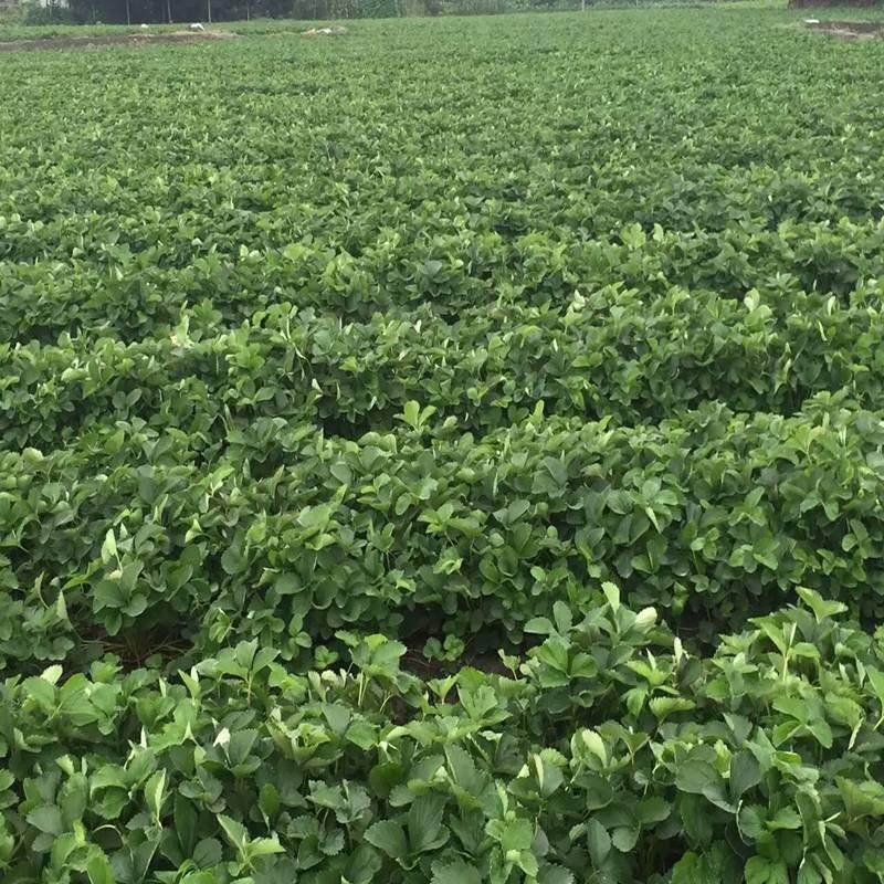 曲靖皇冠一号草莓苗种植基地