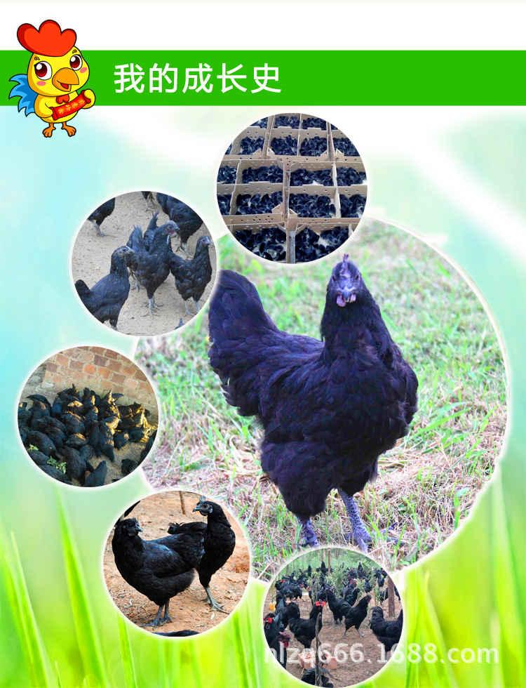 5、换气:换气的目的是及时排除室内污浊空气,吸入新鲜空气,调节舍内的温、湿度,雏鸡既要保温又要注意通风换气,以排出氨气和二氧化碳等有毒气体。 6、光照:正确地掌握光照,有利于鸡群生长及成熟的一致性,雏鸡在育雏阶段可24小时光照,光照强度以每平方米2~3瓦为宜。 7、密度:密度对雏鸡的生长发育影响很大,密度低不经济,密度过高会使雏鸡发育不均匀,生长减慢,易感染疾病,增加死亡率。以垫料平养方式的饲养密度为,6周龄前30~35只/米2,18周龄前12~15只/米2。 8、分群:分群的目的是使雏鸡发育一致,提高