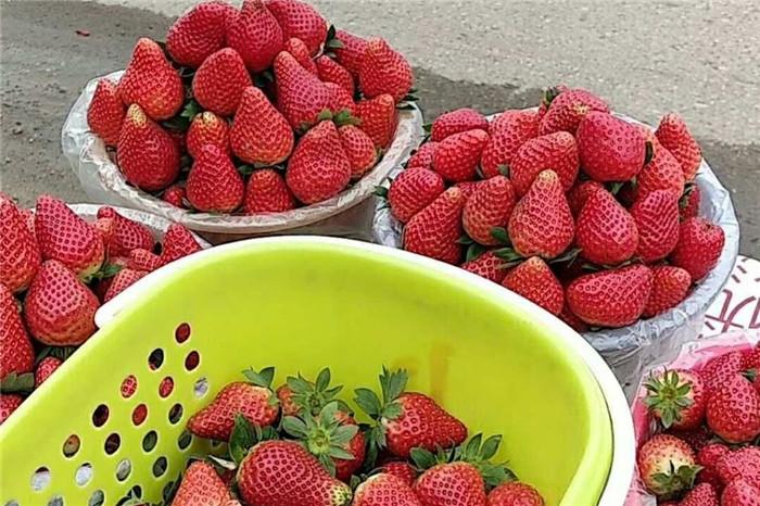 山西太原草莓苗行情