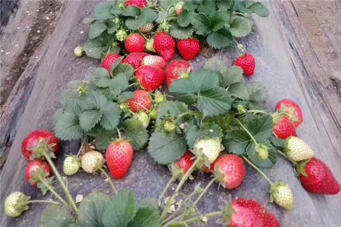 湖北十堰章姬草莓苗种植时间