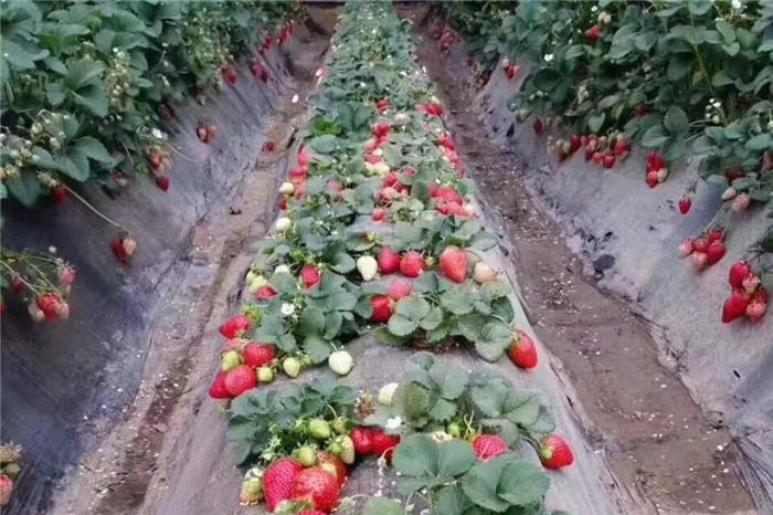 安徽六安草莓苗基地
