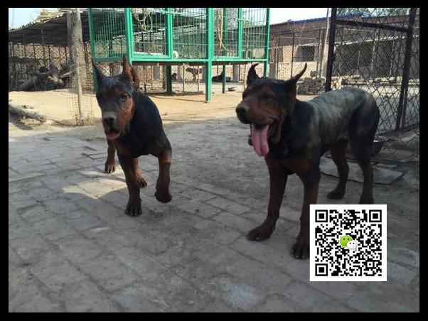 山东红狼犬养殖场1000