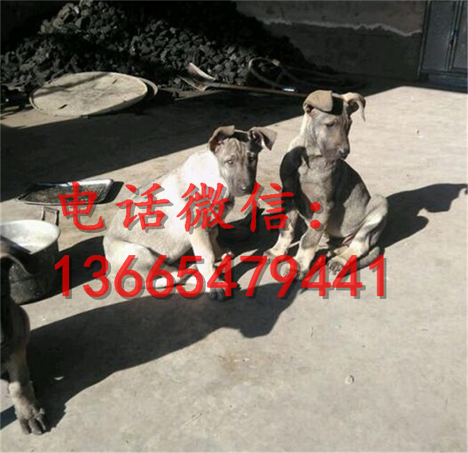 沈阳黑红色纯种马犬幼犬价格