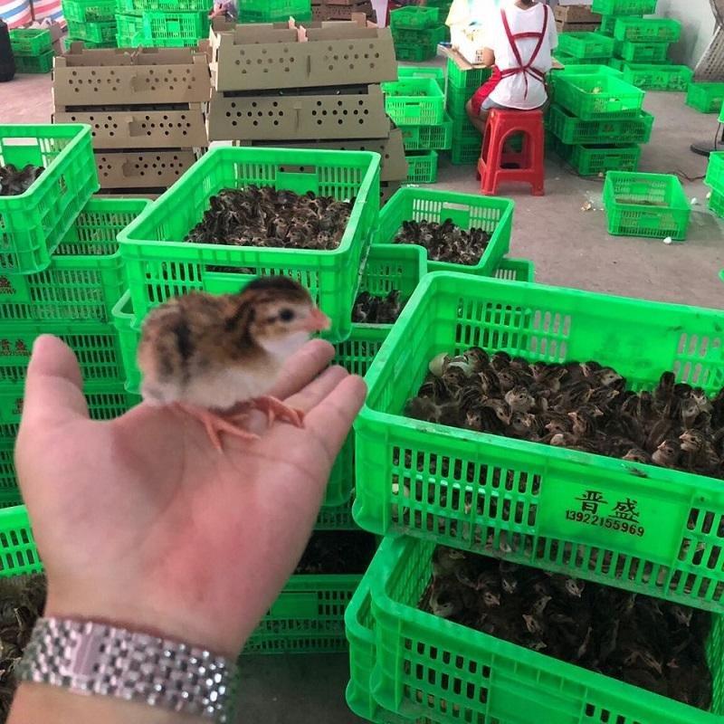 长沙市绿壳蛋鸡哪家好-山东廷旺珍禽养殖场