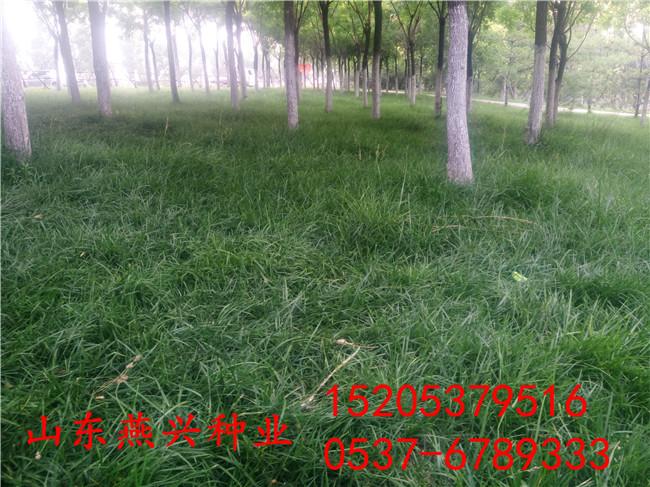 重慶彭水縣護坡工程用什么草籽