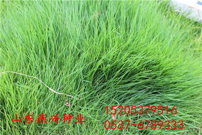 乐山市绿化带常见的草种