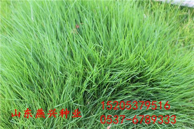 山東濟南護坡固土草籽