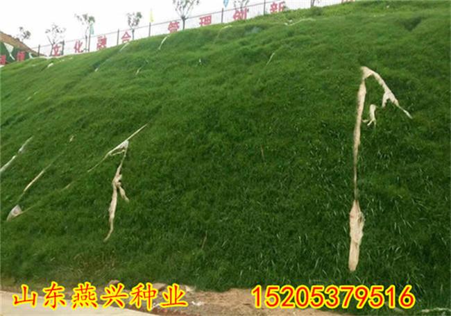 湖南衡陽護坡草籽高羊茅