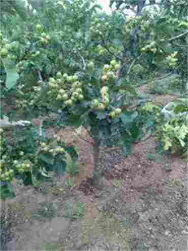 广西来宾章姬草莓苗育苗场