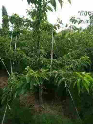吉林白山红肉苹果树苗栽植时间