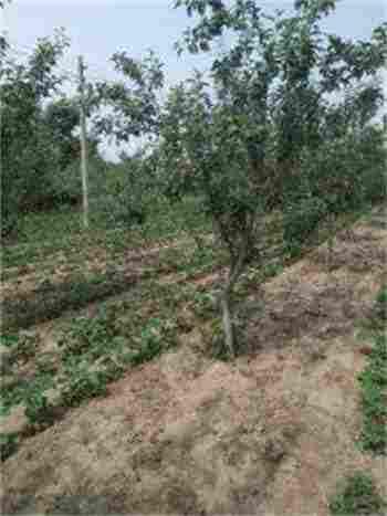 新疆博尔塔拉苹果树苗批发