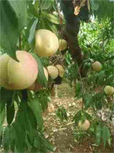 四川内江红富士苹果苗种植