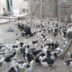 屏山小规模养殖孔雀需要投资多少钱