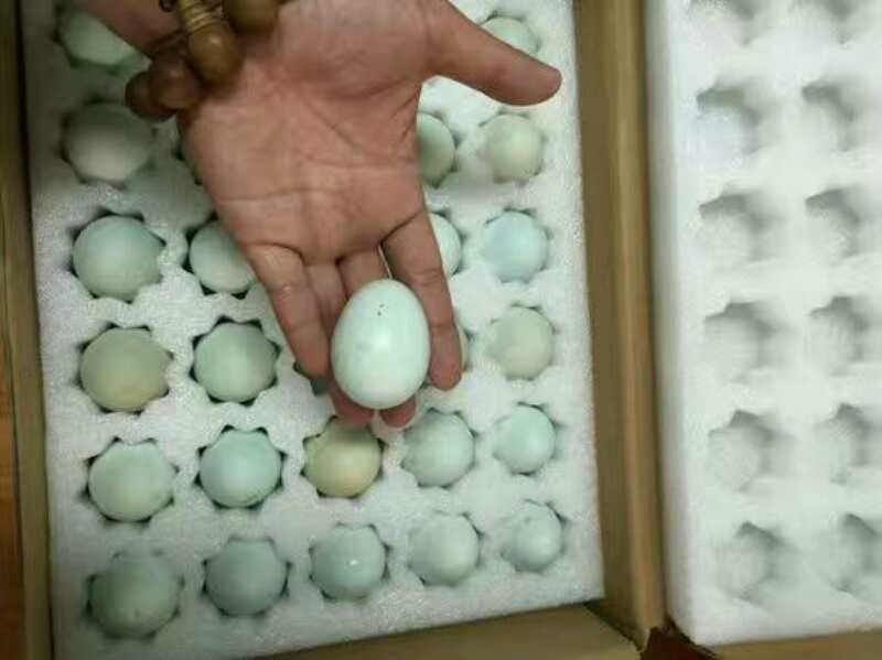 会同目前孔雀种蛋的价格