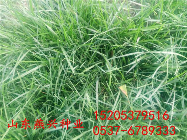 巢湖市小区草坪适合种什么草?