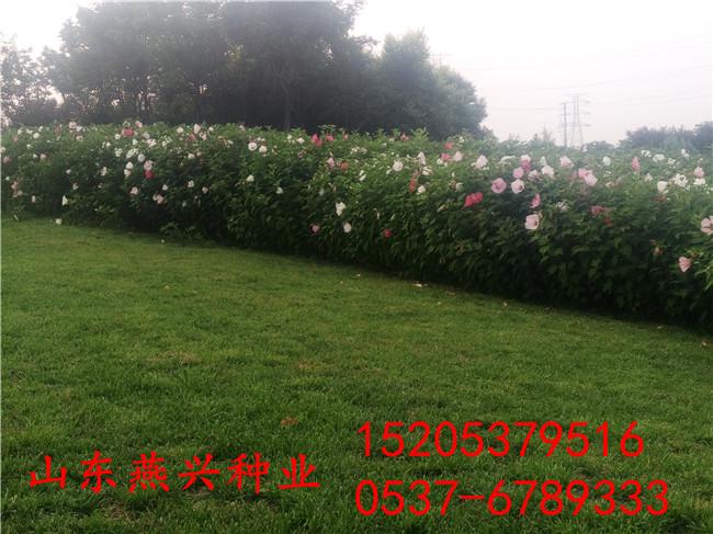 大庆市护坡用什么草籽好?