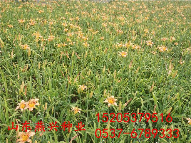 中山市绿化适合冬季草坪种子
