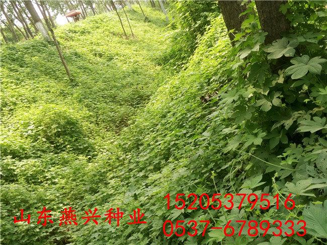 上海市青浦区白三叶护坡草种子多少钱一斤