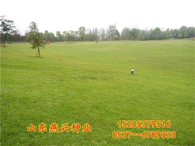 乌海市小区草坪适合种什么草?