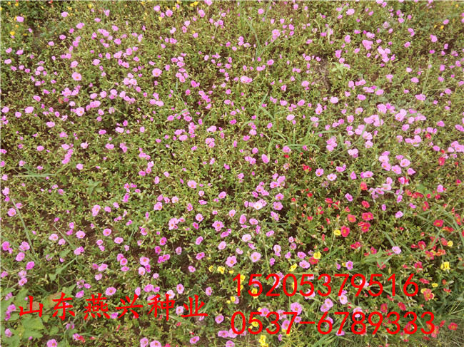 三门峡市护坡草坪种子有哪些