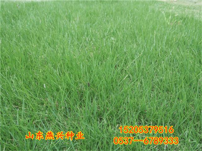 东莞市护坡草种子种植时间