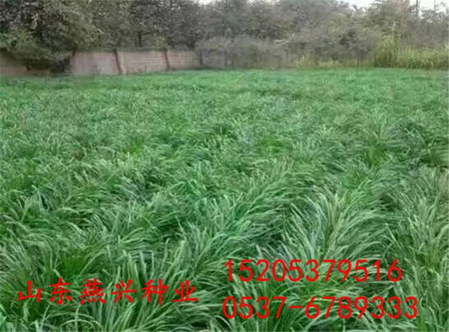 怀化市那种草适合草坪种植?