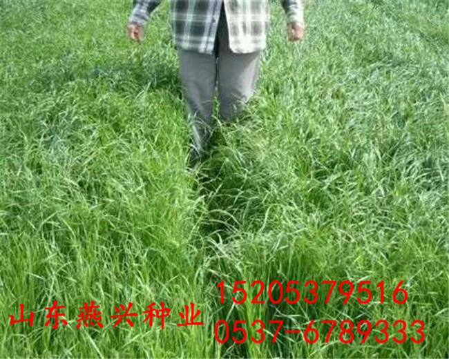 宁波市绿化适合冬季草坪种子