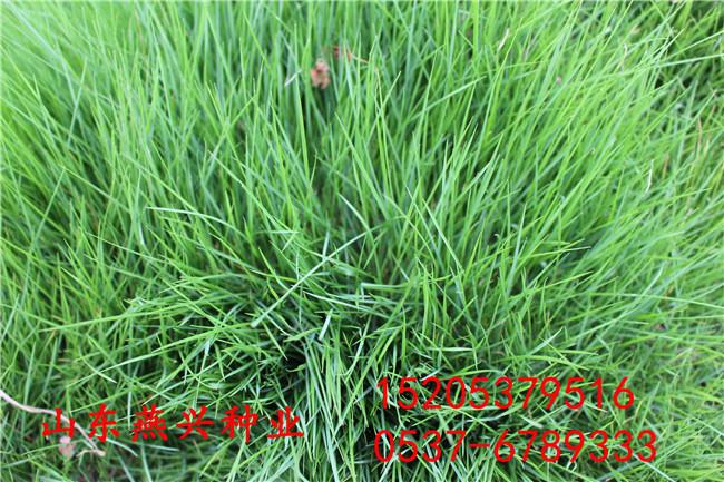 重庆市九龙坡区四季常青草籽播种时间