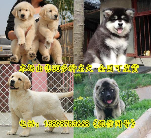 山西吕梁文水县哪里卖杜高犬