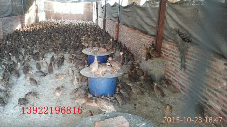 都昌县哪里有野鸡苗出售彭泽县土鸡苗怎么养