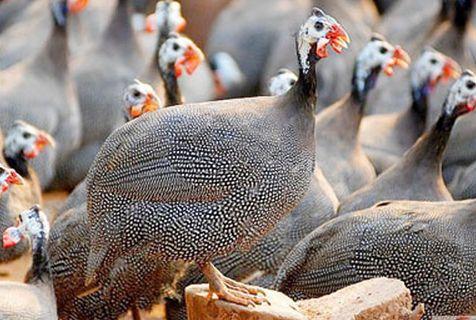 易门哪里有观赏孔雀繁育基地