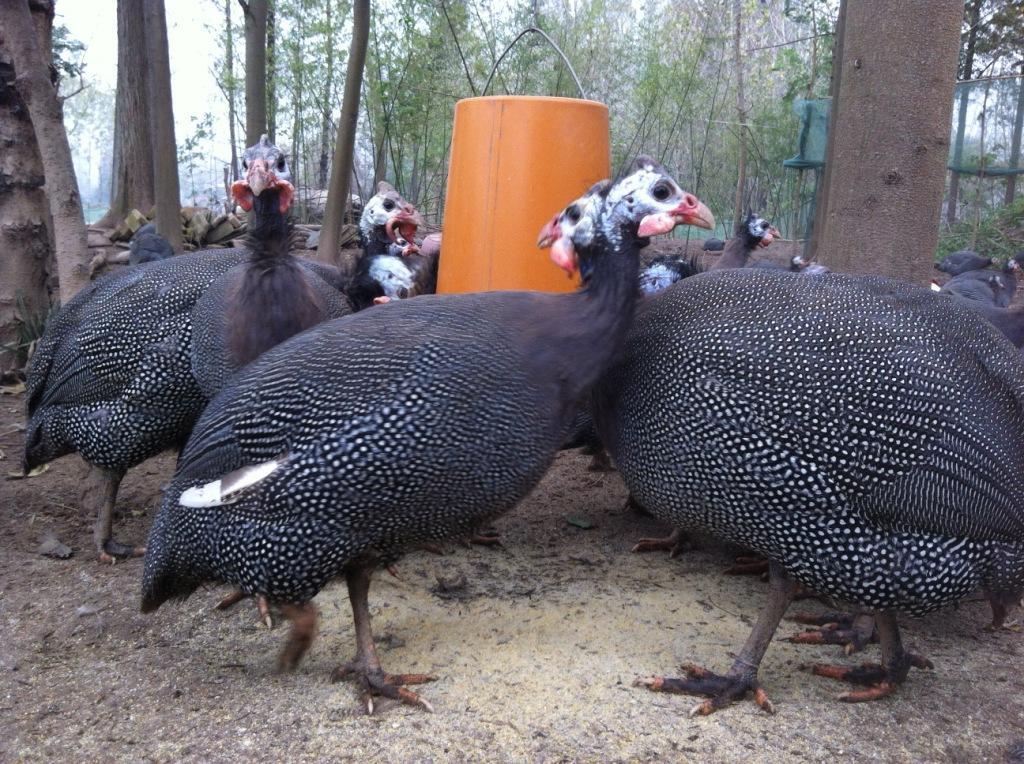 复兴孔雀养殖日常所需的设施有哪些