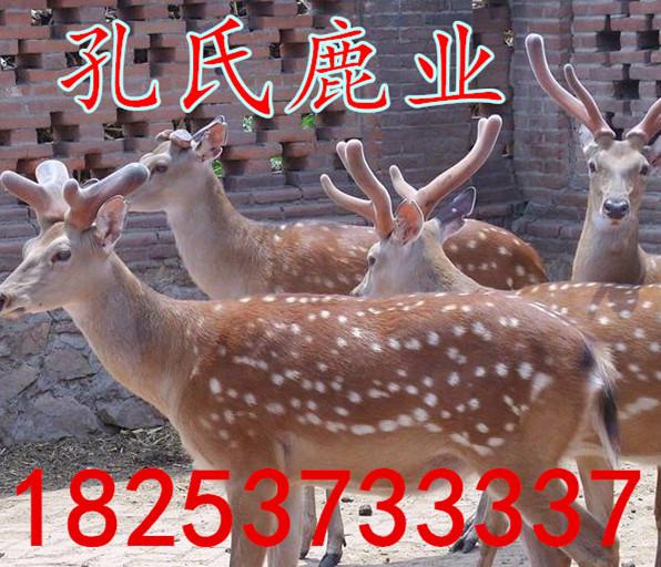 肥城市哪里有賣梅花鹿的批發梅花鹿