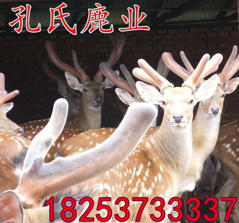 桓臺梅花鹿多少錢一只 價格批發梅花鹿