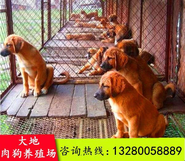 巴塘县滕州肉狗养殖技术诚信商家