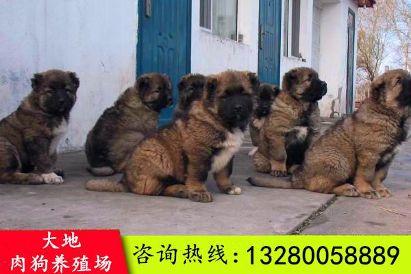 习水县辽宁有肉狗养殖的吗优惠价多少?