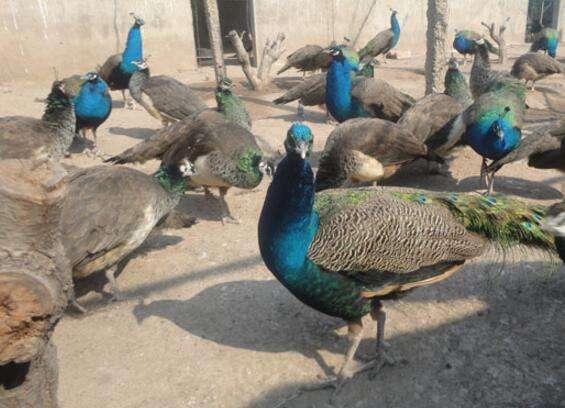 汕尾孔雀适不适合在葡萄园里养殖