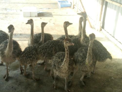 月湖养殖公司回收鸵鸟价格