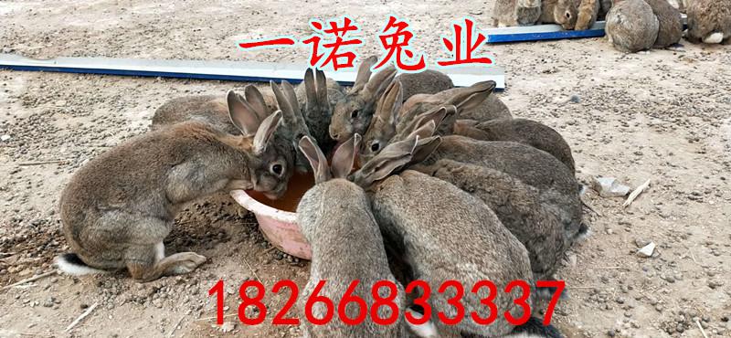养殖甚么品种肉兔孬先养后付款罗山