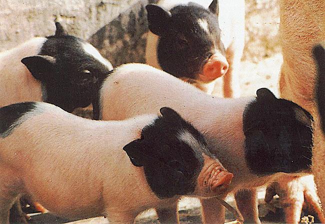 乌达小香猪好养吗