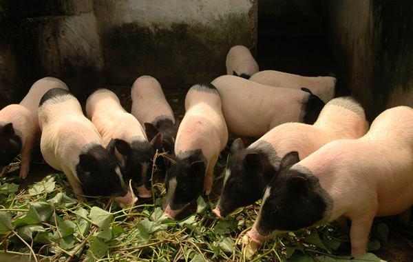 宾川养殖小香猪猪舍怎么消毒
