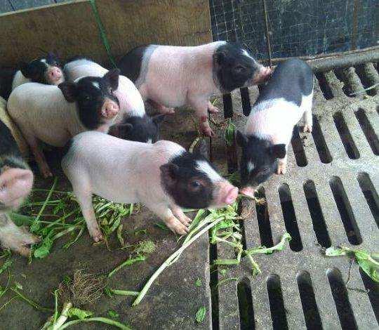 万年目前小香猪种猪一只的价格